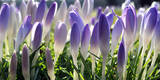 Crocusses Bloom in Kassel Photographic Print by Uwe Zucchi