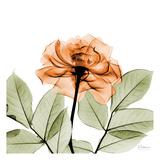 Rosa Poster von Albert Koetsier