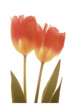 Orange Tulips Prints by Albert Koetsier