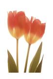 Tulipani arancioni Stampe di Albert Koetsier