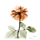 Rose 29 Posters by Albert Koetsier