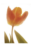Solo Tulip - Colored Poster by Albert Koetsier