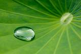 A Waterdrop Is Seen on a Lotus Leaf Photographic Print by Patrick Peul