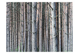 Birch Woods Prints by Sandro De Carvalho