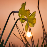 Daffodils at Sunrise Photographic Print by Adrian Campfield