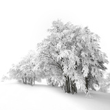 White Trees Photographic Print by Philippe Sainte-Laudy