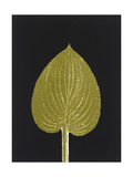 New Hosta 3 Giclee Print by Mary Margaret Briggs