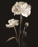 Dramatic Peony Prints by Julie Greenwood