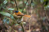 Madagascar, Andasibe. Male African Paradise Flycatcher, Photographic Print by Anthony Asael