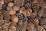 USA, California, Inyo National Forest.  Bristlecone tree pine cone. Photographic Print by Don Paulson
