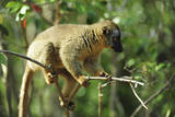 Common Brown Lemur on branch, Ile Aux Lemuriens, Andasibe, Madagascar. Photographic Print by Anthony Asael