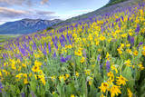 USA, Colorado, Crested Butte. Landscape of wildflowers on hillside. Photographic Print by Dennis Flaherty