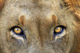 Close-up of Male Lion, Kruger National Park, South Africa. Photographic Print by David Wall