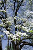 USA, Tennessee, Nashville. Flowering dogwood tree at The Hermitage. Fotodruck von Cindy Miller Hopkins