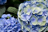 USA, Alabama, Theodore. Hydrangeas at Bellingrath Gardens and Home. Fotodruck von Cindy Miller Hopkins