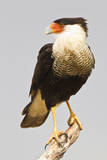USA, Texas, Mission, Martin-Javelina Ranch. Crested caracara portrait. Photographic Print by Fred Lord