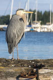 USA, Washington State, Poulsbo Great Blue Heron on marine floatation. Photographic Print by Trish Drury