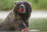 USA, Alaska, Katmai NP, Coastal Brown Bear eating salmon at Kinak Bay. Photographic Print by Paul Souders