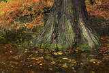 Swamp Cypress in Hagley Park, Christchurch, Canterbury, New Zealand. Photographic Print by David Wall