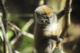 Madagascar, Andasibe, Ile Aux Lemuriens, baby Golden Bamboo Lemur. Photographic Print by Anthony Asael
