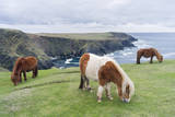 Shetland Pony on pasture near high cliffs, Shetland islands, Scotland. Stampa fotografica di Martin Zwick