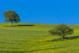 Trees in a field, Val d'Orcia, Siena province, Tuscany, Italy. Photographic Print by Nico Tondini