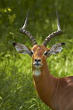 Male impala, Kruger National Park, South Africa Photographic Print by David Wall