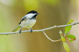 Black-capped Chickadee perched in cottonwood tree. Reproduction photographique par Larry Ditto