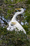 USA, Florida, St Augustine Gator Farm Great Egrets nesting. Photographic Print by Connie Bransilver