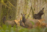 USA, Washington, Olympic NP. Roosevelt elk cows foraging. Photographic Print by Steve Kazlowski