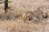 Female lion, Maasai Mara National Reserve, Kenya Photographic Print by Nico Tondini