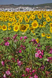 Spain, Andalusia, Cadiz Province, Bornos. Sunflower fields. Photographic Print by Julie Eggers