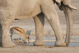 Namibia, Etosha NP. Springbok and elephant at Nebrowni Waterhole. Photographic Print by Wendy Kaveney