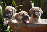 USA, California. Three Mastiff puppies in a wheelbarrow II. Photographic Print by Zandria Muench Beraldo