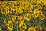 Spain, Andalusia, Cadiz Province. Sunflower fields. Photographic Print by Julie Eggers