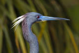 USA, Florida, St. Augustine, Little blue heron at the Alligator Farm. Photographic Print by Joanne Wells
