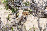 Cheetah, Maasai Mara National Reserve, Kenya Photographic Print by Nico Tondini