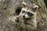 USA, Minnesota, Minnesota Wildlife Connection. Raccoon in a tree. Photographic Print by Wendy Kaveney