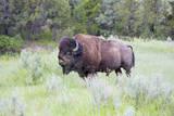 USA, North Dakota, Theodore Roosevelt National Park, Bull bison. Photographic Print by Jamie & Judy Wild