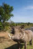 Warthog, Maasai Mara National Reserve, Kenya Photographic Print by Nico Tondini