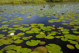 Water lilies, Okavango Delta, Botswana, Africa Photographic Print by David Wall