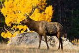Elk adult bull grazing near quaking aspen. Photographic Print by Larry Ditto