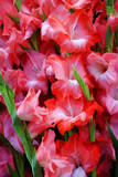 USA, Georgia, Savannah, Bouquet of gladiolus at Farmer's Market. Photographic Print by Joanne Wells
