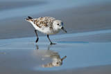 Sanderling feeding on wet beach. Photographic Print by Larry Ditto