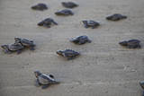 Central America, El Salvador, Pacific Ocean, turtle hatchlings. Photographic Print by Connie Bransilver