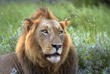 Male Lion, Kruger National Park, South Africa Photographic Print by David Wall