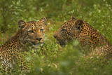 Leopards, Kruger National Park, South Africa Photographic Print by David Wall