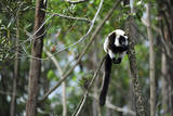 Madagascar, Andasibe, Ile Aux Lemuriens, Coquerel's Sifaka. Photographic Print by Anthony Asael