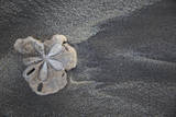 Central America, El Salvador, sand dollar on sand. Photographic Print by Connie Bransilver