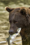 USA, Alaska, Katmai NP, Coastal Brown Bear eating salmon. Photographic Print by Paul Souders